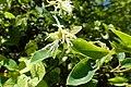 Loropetalum chinense kz5.jpg