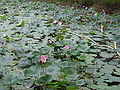 Lotus Fields in Punjab.JPG