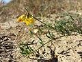 Lotus tenuis sl22.jpg