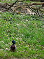 Luchs und Stockente im Tierpark Lange Erlen, Basel.JPG