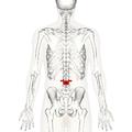 Lumbar vertebra 3 posterior.png
