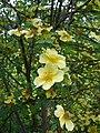 Lyon 5 - Parc des Hauteurs - Jardin du Rosaire - Rose Canary Bird.JPG