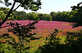 Lythrum salicaria, field of purple loosestrife, Concord, Massachusetts.jpg