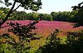 Lythrum salicaria, field of purple loosestrife, Concord, Massachusetts.jpg