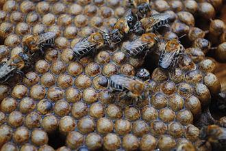 Melipona scutellaris - Image: M. scutellaris Hive
