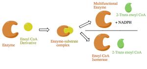 Enoyl CoA isomerase