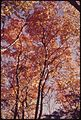 MOUNTAIN ASH IN THE ADIRONDACK FOREST PRESERVE AT 4,000 FEET - NARA - 554730.jpg