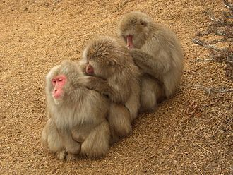 Japanese macaque - Japanese macaques grooming