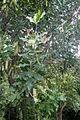 Macadamia integrifolia kz1.JPG