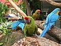 Macaws at Jurong BirdPark-5.jpg
