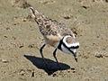 Madagascar Plover RWD2.jpg