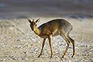 Madoqua kirkii - female (Namutoni).jpg