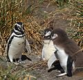 Magellanic Penguin with chicks (5540907691).jpg