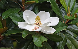 Magnolia grandiflora - Flower and foliage of M. grandiflora