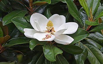 English: White Magnolia grandiflora (southern ...