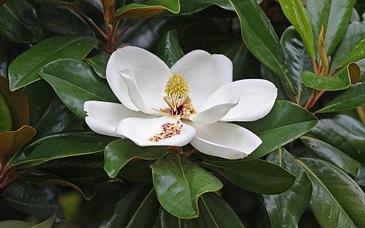magnolia a grandes fleurs ou grandiflora