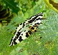 Magpie Moth. Abraxas grossulariata - Flickr - gailhampshire.jpg