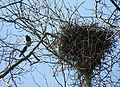 Magpies near their nest J1.jpg