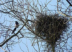 Magpies near their nest J1.jpg