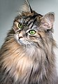 Maine Coon portrait (Unsplash).jpg