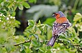 Male Chaffinch (Fringilla coelebs) - geograph.org.uk - 428148.jpg