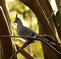 Male Crested Pigeon.JPG