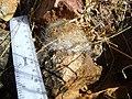 Mammillaria guelzowiana (5729895326).jpg