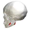 Mandibular angle - lateral view3.png