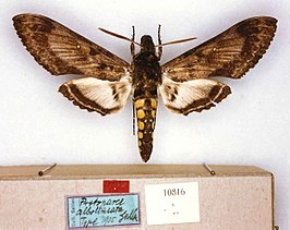 Manduca albolineata type (Peru, Chanchamayo) (CMNH) male upperside and labels.jpg