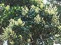 Mangifera zeylanica Kurunegala.jpg