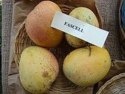 Mango Fascell2 Asit fs.jpg