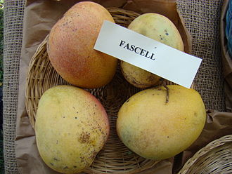 Fascell - Display of Fascell mangoes in the Redland Summer Fruit Festival, Fruit and Spice Park, Homestead, Florida