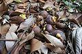 Mangoesteen (Garcinia mangostana).JPG