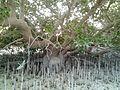 Mangrove03-Qatar-Dakhira.jpg