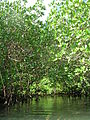 Mangroves, up close (3) (8746501555).jpg