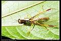 Mantispidae (5184341297).jpg