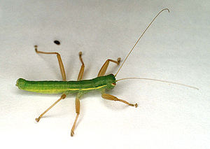 Notoptera - Mantophasma zephyrum