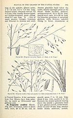 Manual of the grasses of the United States (Page 161) BHL42020800.jpg