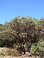 Manzanita (Arctostaphylos manzanita).JPG
