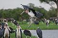 Marabou Stork, Leptoptilos crumeniferus, at the aptly named Marabou Pan, Savuti, Chobe National Park, Botswana (32786929045).jpg