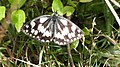 Marbled White Durlston Dorset.jpg
