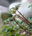 Marchantia polymorphaLamiot2.jpg