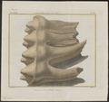 Mastodon spec. - kiezen - 1700-1880 - Print - Iconographia Zoologica - Special Collections University of Amsterdam - UBA01 IZ22000163.tif