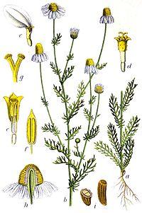 Matricaria recutita Sturm13045.jpg