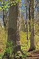 Matson's Woods (Revisit) (3) (14042495974).jpg