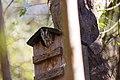 McCall's Eastern screech owl (46719581142).jpg