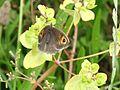 Meadow Brown (Maniola jurtina) (7580785918).jpg