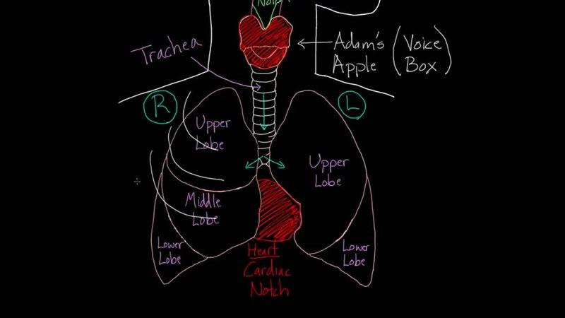 File Meet The Lungs Webm