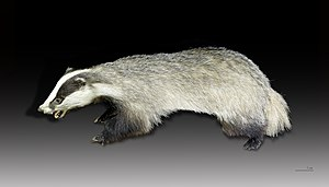 Hamiltonian spite - When infected by tuberculosis, badgers emigrate from their natal group.