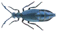 Meloe violaceus Marsham, 1802 Male (33123448686).png